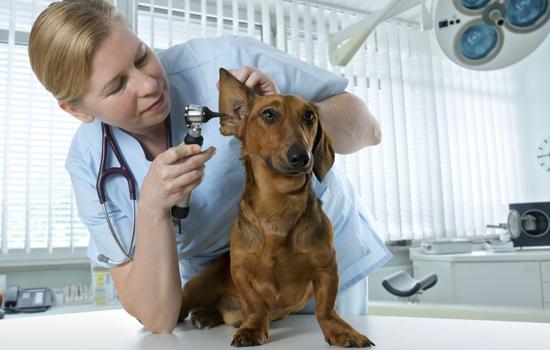 Hondje in oor kijken